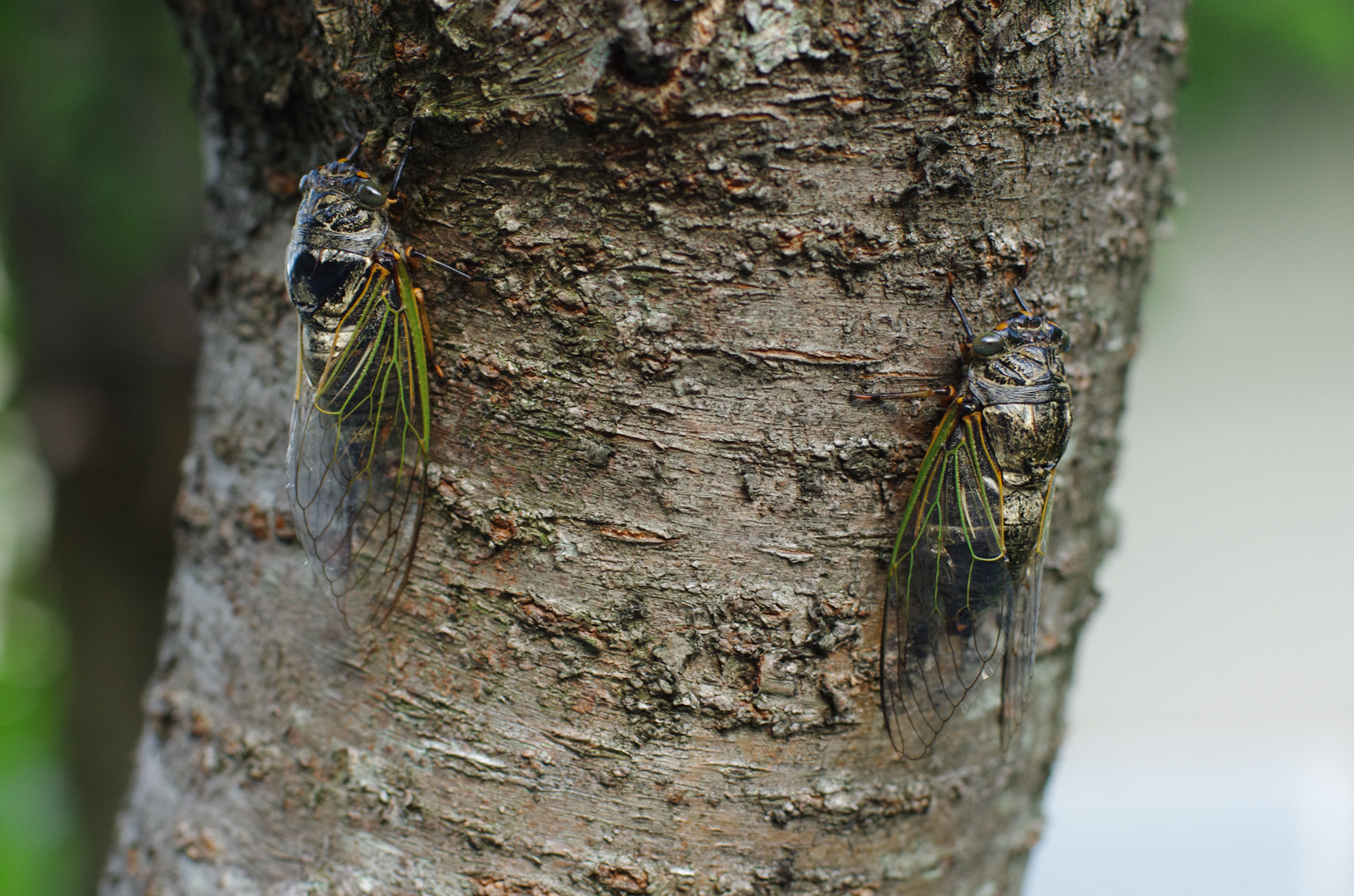 Cigales Kumazemi, Cryptotympana facialis à Nara au Japon en août 2014. Chant de l'espèce : shaaa-shaaa...