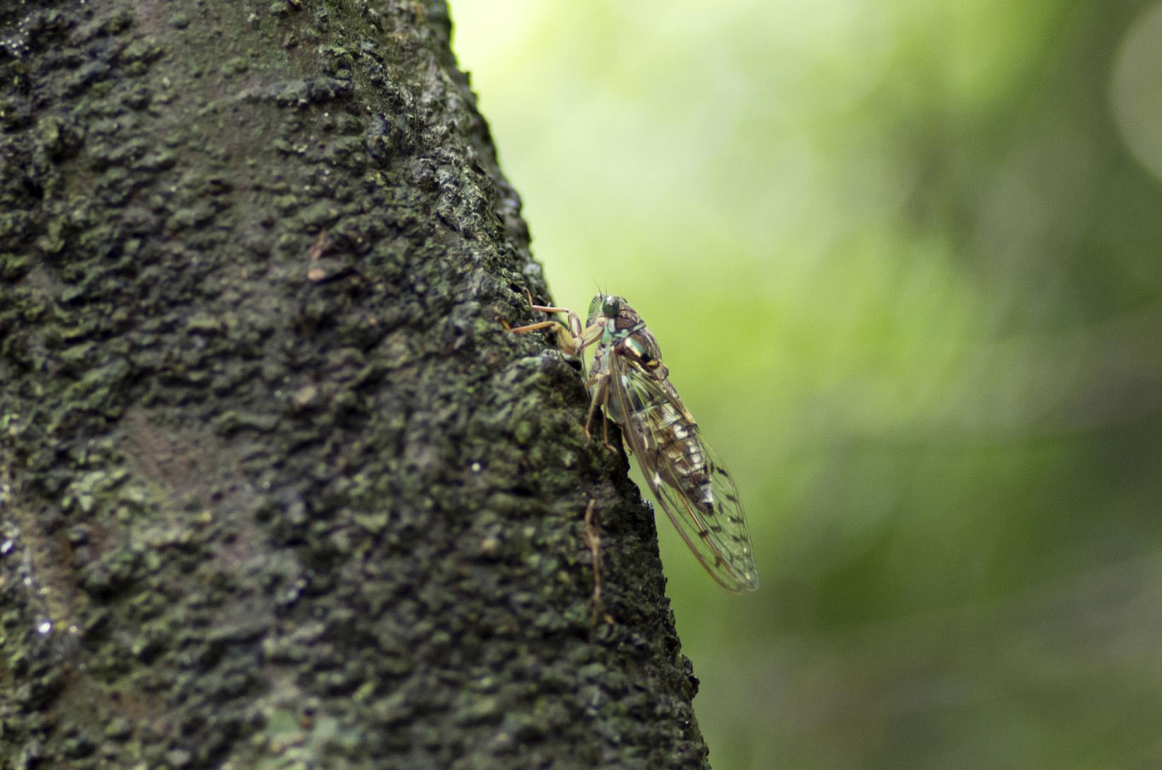 Cigale Higurashi, Tanna japonensis, mâle (Kyôto, juillet 2014). Chant de l'espèce : kana-kana-kana...