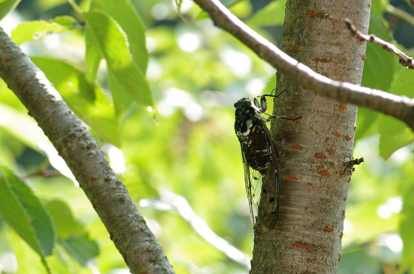 Cigale Minminzemi, Hyalessa maculaticollis, mâle à Yunoyama au Japon en août 2013). Chant de l'espèce : miiine-mine-mine-mine...