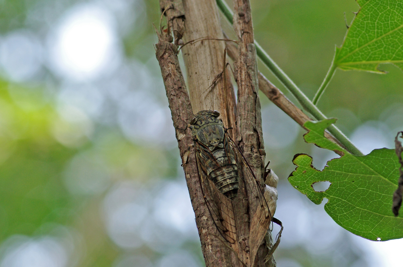 Cigale Tsukutsukubôshi, Meimuna opalifera, mâle à Nara au Japon en août 2013). Chant de l'espèce : oooshine-tsoukoutsoukou...