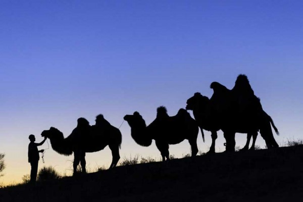 Chameaux et chamelier au camp de yourtes d'Adjar, sur le tracé historique de la route de la soie (Crédit : LEMAIRE STÉPHANE / HEMIS.FR /AFP)