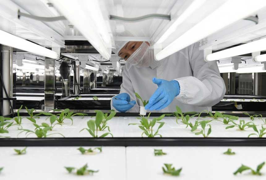 """Un ingénieur vérifie la croissance d'une laitue dans une salle de culture de l'usine """"Clean room Farm Yokosuka"""" créée par Toshiba à Yokosuka, dans la préfecture de Kanagawa le 12 novembre 2014 (Crédit : AFP PHOTO / TOSHIFUMI KITAMURA)"""