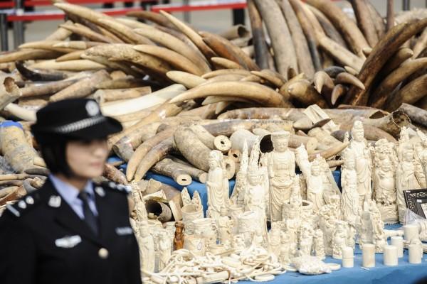 Une femme officier chinoise du service des douanes se tient devant un stock d'ivoire et d'objet en ivoire illégaux saisis en janvier 2014 dans la province du Guangdong