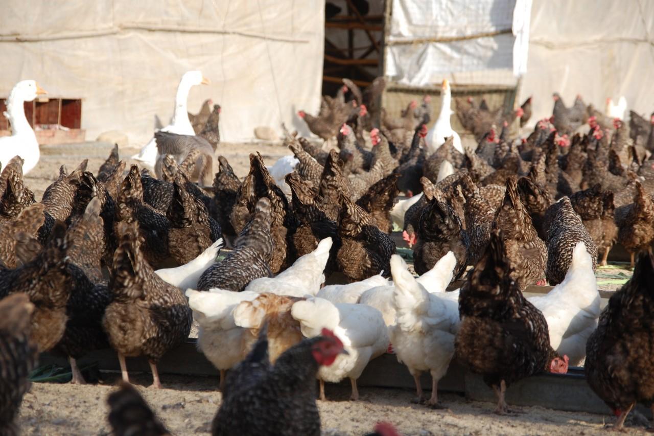 Des poulets dans un enclos ouvert de la ferme bio Tootoo à Pékin, le 30 décembre 2013. (Crédit : Stephan Scheuer / DPA / dpa Picture-Alliance/AFP)