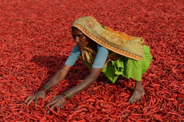Une agricultrice indienne fait sécher des piments dans une ferme de Sertha, à 25 km d'Hyderabad en Inde, le 6 février 2015. Cette année, la moisson est en forte baisse à cause des dérèglements climatiques, ce qui a fait doubler le prix des piments en 2014. (Crédit : AFP PHOTO / Sam PANTHAKY)