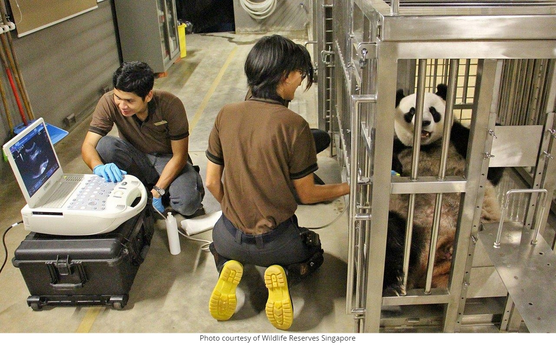 Jia jia le panda subit une échographie au zoo de Singapour (copie d'écran de Mothership.sg, le 23 septembre 2015).