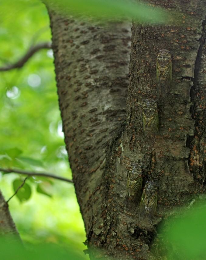 Le réchauffement urbain impacte la diversité des cigales. Ici des cigales-ours, devenues dominantes à Osaka. Le cri d'un seul mâle peut atteindre 102 décibels à 50 cm. Certaines femelles percent les câbles de fibre optique en essayant d'y pondre à Osaka-fu, en août 2014. (Copyright : Jean-François Heimburger)