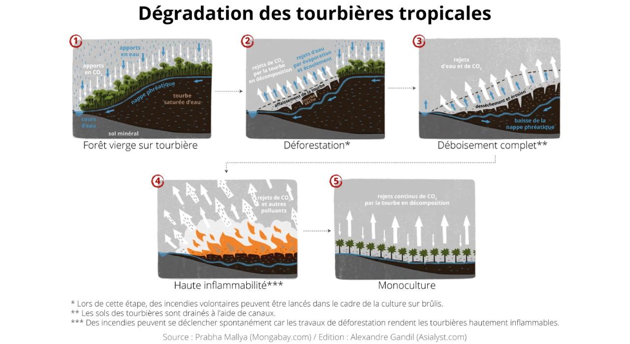 Schéma : la dégradation des tourbières tropicales en cinq étapes, faisant passer les forêts vierges en monocultures.