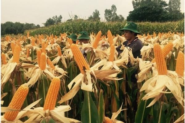 Au Vietnam, les OGM jouent à cache-cache. Copie d'écran du quotidien national Thanh Niên, le 20 octobre 2015.