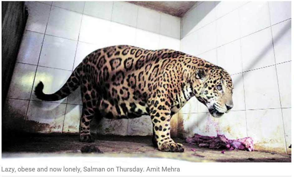 Parce qu'il s'intéresse plus à sa nourriture qu'à sa partenaire, le jaguar Salman sera renvoyé dans son zoo du Kerala. Copie d'écran de The Indian Express, le 10 octobre 2015.