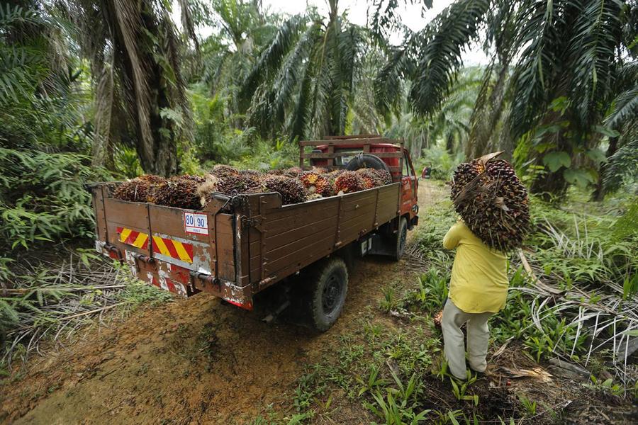 Plantation d'huile de palme en Malaisie.