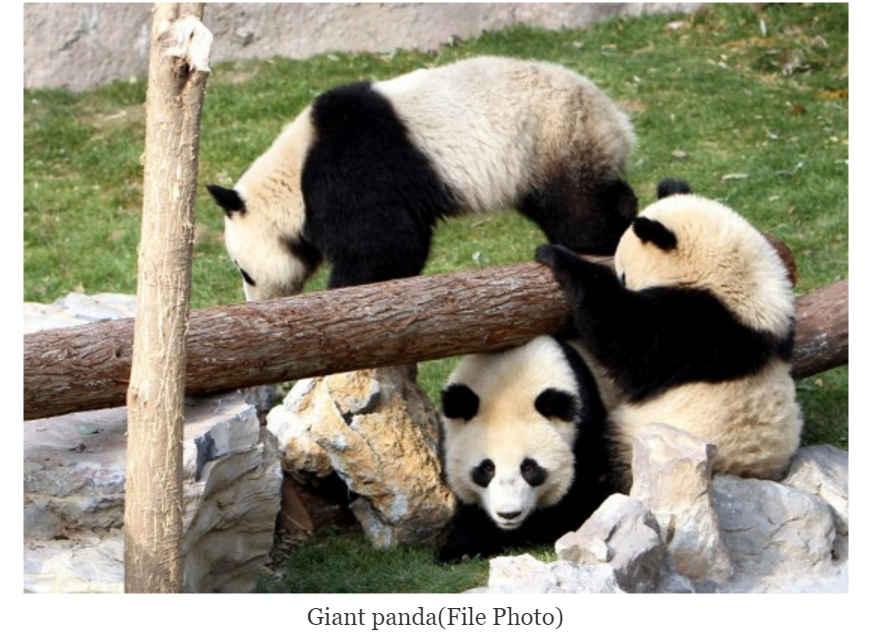 Le langage des panda est très coloré, d'après les scientifiques.