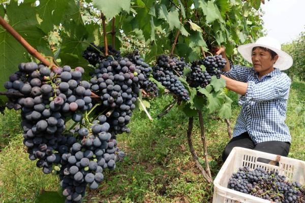 Une agricultrice procède à la récolte des raisins dans un domaine de Zhaozhuang, une ville de la province du Shandong en Chine.