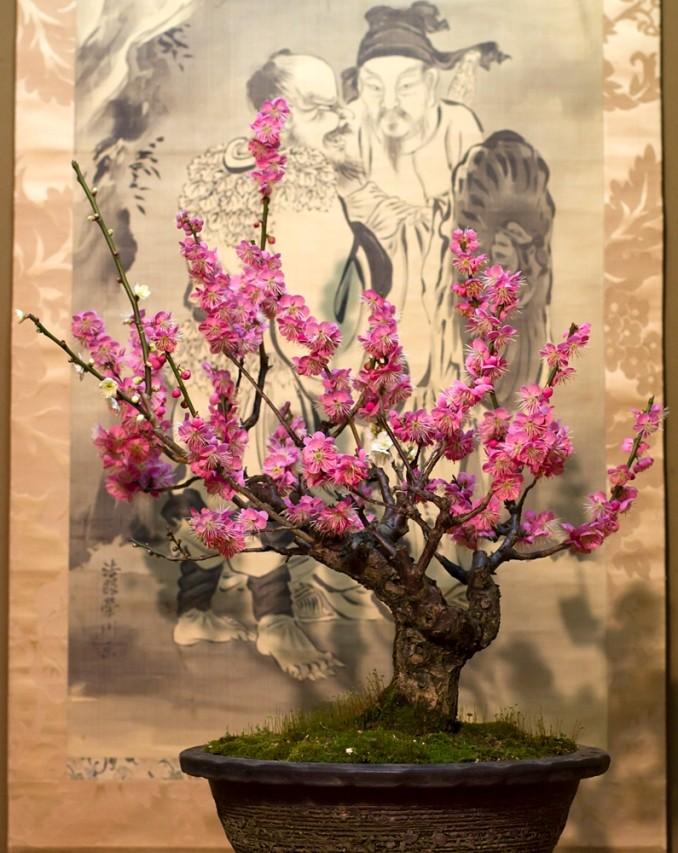 L'un des 120 bonzaïs exposés au château de Yamatokôriyama, du 6 février au 12 mars 2016.