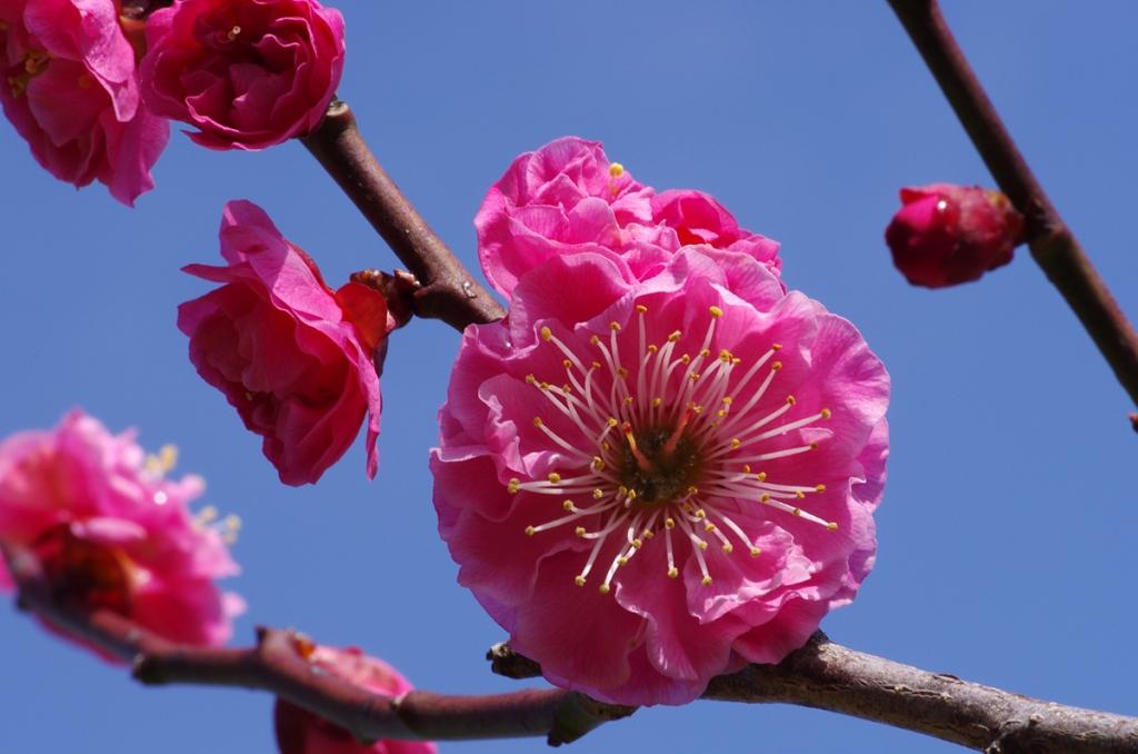 Fleurs d'abricotier à multiples pétales.