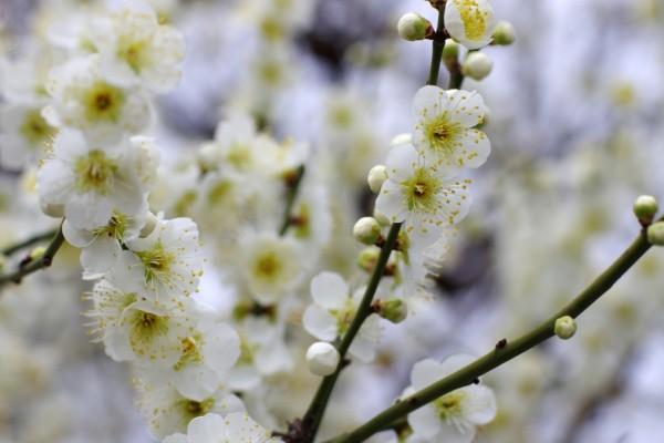 Fleurs d'abricotier blanches typiques, à cinq pétales.