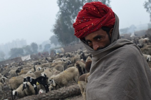 Berger nomade venu du Rajasthan garde son troupeau