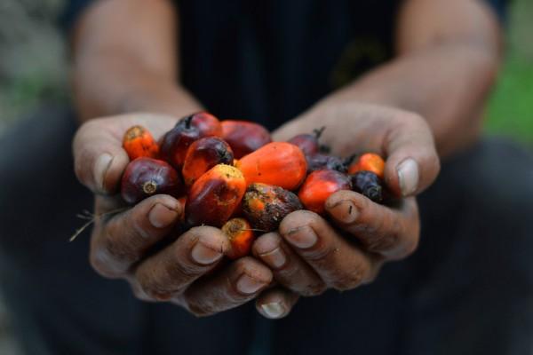 Fruits de palmier à huile en Indonésie