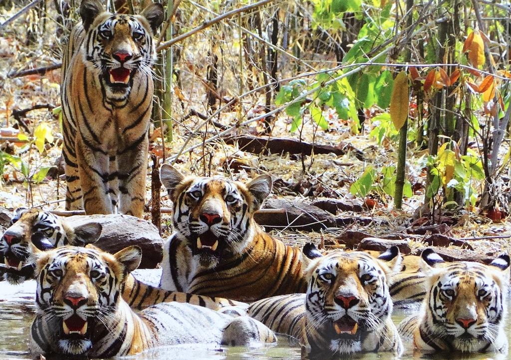 Photo rare de tigres du bangale, dont l'espèce est menacée, notamment par l'extraction du charbon en Inde.