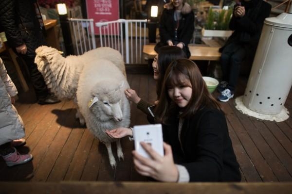 """Une femme prend un selfie avec un mouton dans un """"Sheep Cafe"""" de la capitale coréenne. (Crédit : ED JONES / AFP )"""