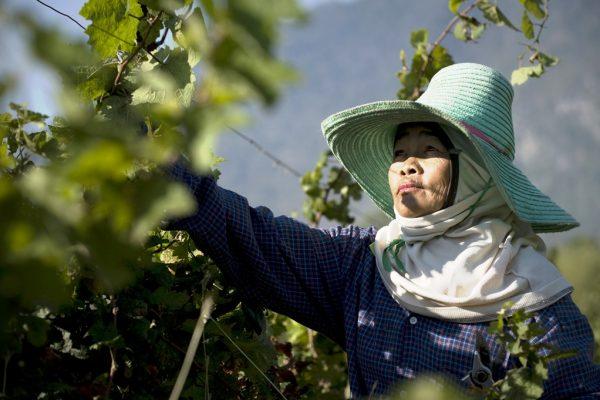 Une cultivatrice thaïlandaise dans une vigne de la PB Valley Winery à Khao Yai, à environ 200 km au nord-est de Bangkok, le 4 mars 2010.