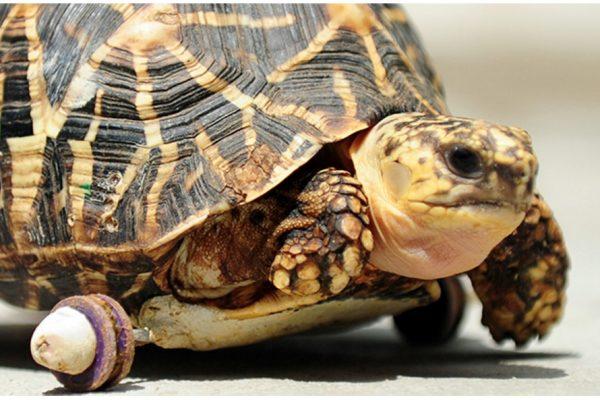 La tortue à roulettes du zoo de Chennai est devenue une vraie star. Copie d'écran de NDTV, le 16 juin 2016.