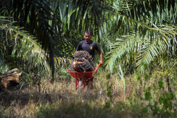 A Aceh Jaya, dans la province d'Aceh, un homme transporte des fruits d'un palmier à huile.
