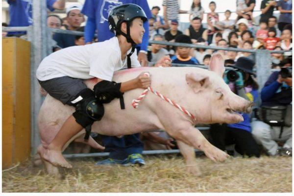 La plupart des candidats au rodéo sur cochons de Seiyo tombent en moins de 3 secondes. Copie d'écran du Japan Times, le 14 août 2016.