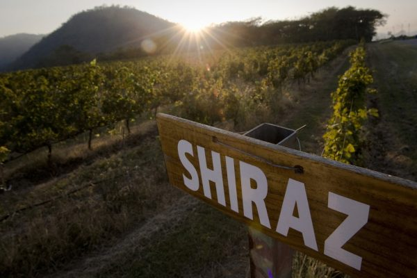 Lever de soleil au dessus de vignes de Shiraz en Thaïlande.