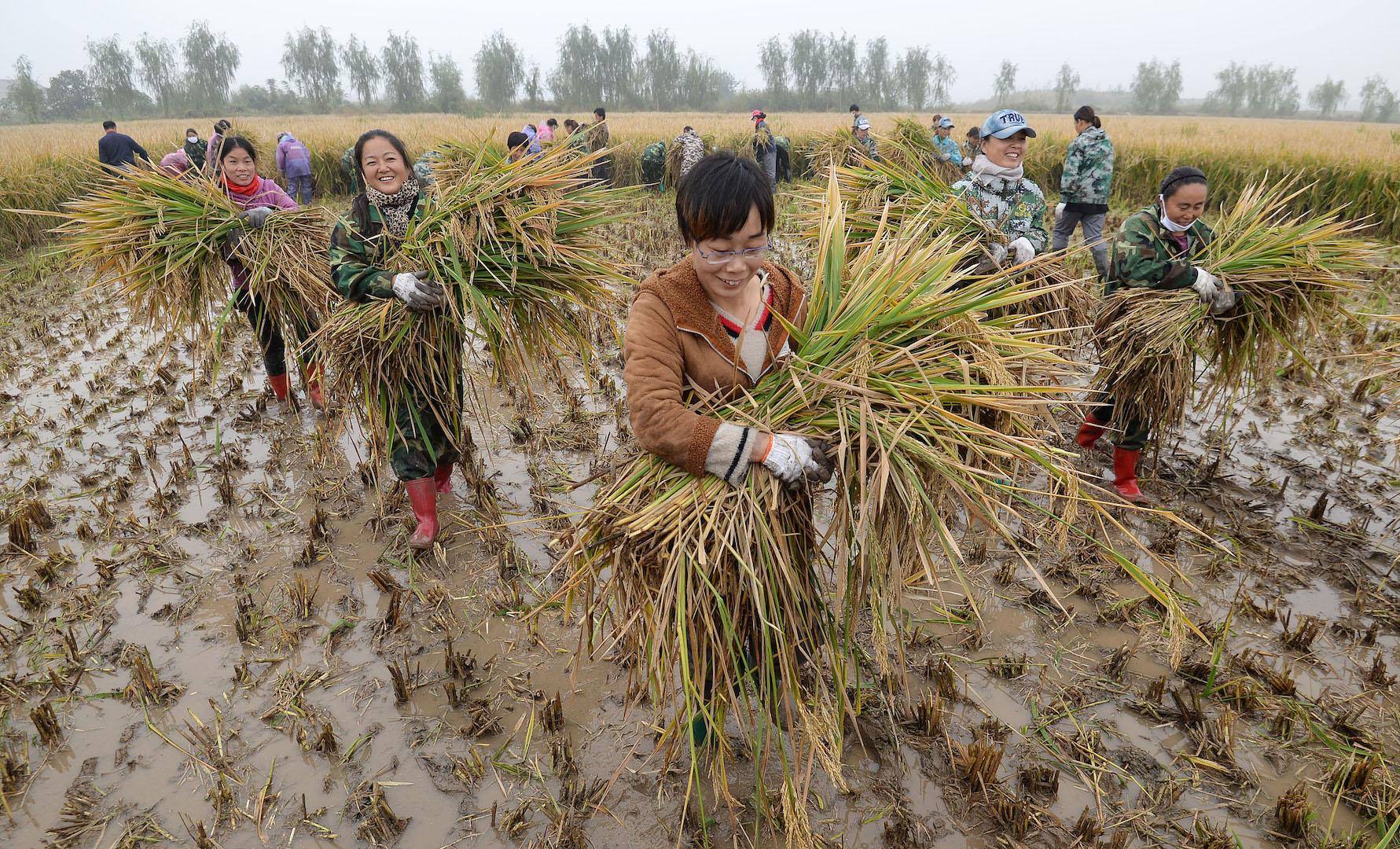 La récolte de riz hybride près de Handan, dans la province du Hebei au nord-est de la Chine, le 15 octobre 2017. (Crédits : HAO QUNYING / IMAGINECHINA / via AFP)