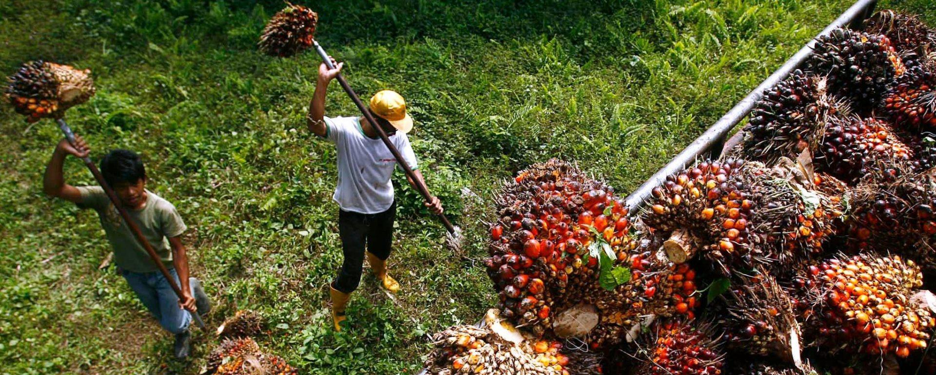 La Malaisie est le deuxième producteur mondial d'huile de palme avec 39% de la production globale. (Source : Asia Nikkei)