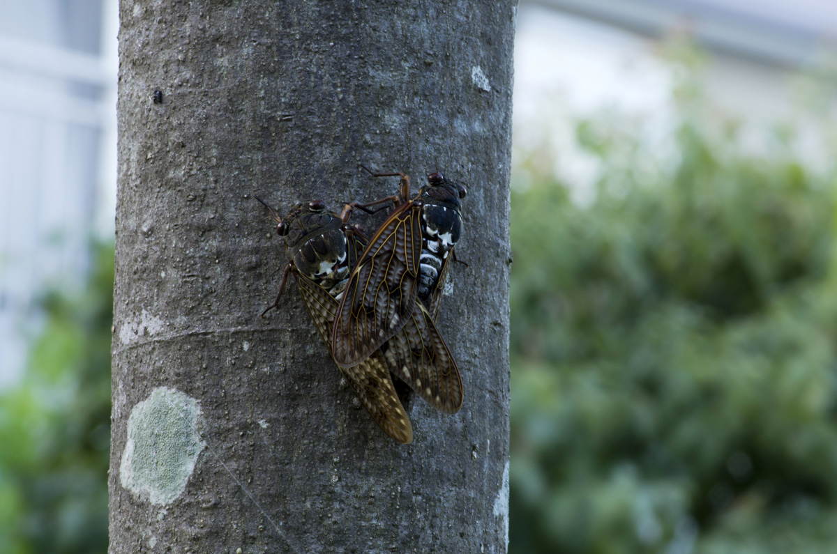 Accouplement d'Aburazemi (Graptopsaltria nigrofuscata), à Nara au Japon. (Copyright : Jean-François Heimburger)