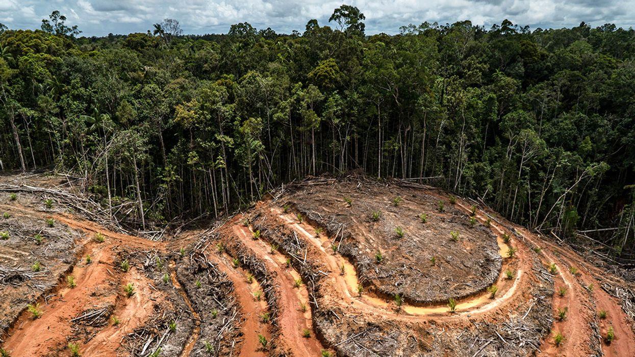 Concession d'huile de palme après déforestation à PT Megakarya Jaya Raya en Indonésie. (Source : Ecowatch)