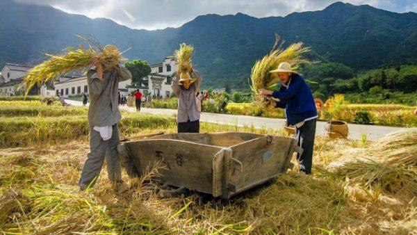 Cultivateurs de riz dans la province chinoise de l'Anhui, à l'ouest de Shanghai. (Asia Times)